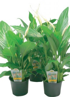 Flowering-Peace-Lily-12cm on sale