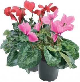 Cyclamen-14cm on sale